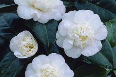 Caro Garden Design - Camellia