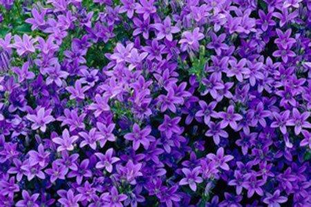 Caro Garden Design - Campanula