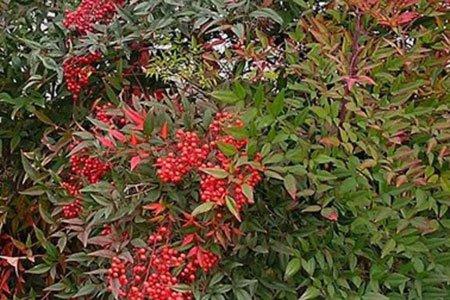 Caro Garden Design - Nandina