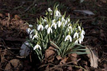 Caro Garden Design - Snowdrops