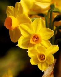 Caro Garden Design - Narcissi